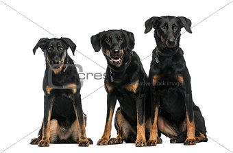 Three Beaucerons sitting in front of a white background