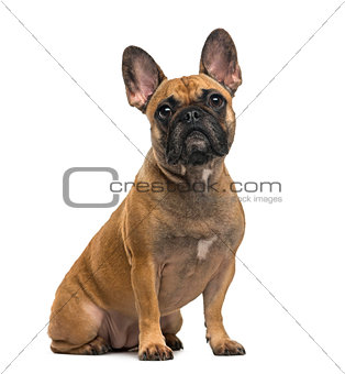 French Bulldog (2 years old) in front of a white background