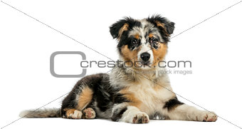 Australian Shepherd (3,5 months old) in front of a white backgro