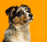 Australian Shepherd (3,5 months old) in front of an orange backg