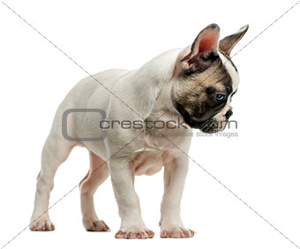 French Bulldog (3 months old) in front of a white background