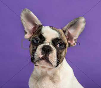 French Bulldog (3 months old) in front of a purple background