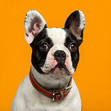 French Bulldog (1 year old) in front of an orange background