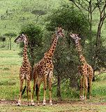 Herd of giraffe, Serengeti, Tanzania, Africa