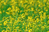 summer background: blooming canola