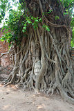 Head of sandstone buddha in tree root