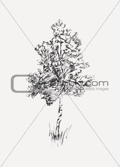 Sketch of birch isolated on white