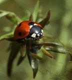 Ladybug on twig