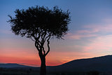 African tree in the last daylight. sunset. Kenya.