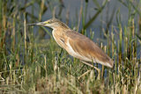 Squacco Heron In The Reeds