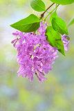 lilac violet flowers