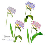 Spring freesia flowers