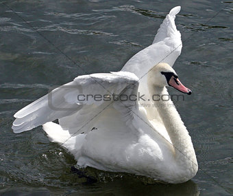 Flapping Swan