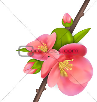 Branch with buds of Japanese Quince (Chaenomeles japonica) in bl