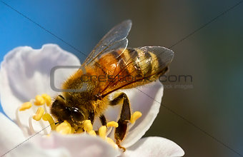 A Closeup of Bee Pollinating Flowers.