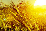 Sunset wheat field .