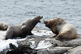 Rookery Northern Sea Lion or Steller Sea Lion. Kamchatka