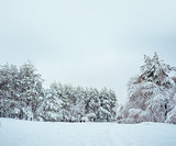 New Year tree in winter forest. Beautiful winter landscape with snow covered trees. Trees covered with hoarfrost and snow. But