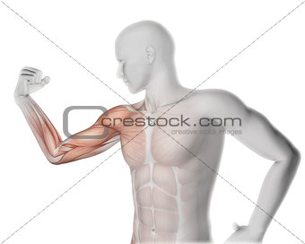 3D male medical figure flexing arm with partial muscle map