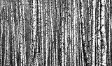 Spring trunks birch trees black and white