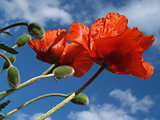 Pair of Red Poppies in Spring, Reaching for Azure