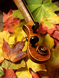 Maple Violin Scroll on Bright Autumn Maple Leaves