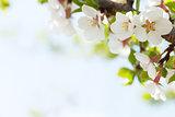 Sakura, cherry blossom