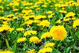 Beautiful landscape with foalfoot flowers among yellow field