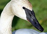 The Trumpeter Swan With Its Distinctive Black Beak
