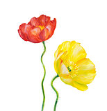 Yellow Poppy isolated on white