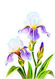Irises, watercolor