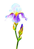 Irises, watercolor