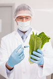 Scientist holding lettuce and injecting fluid with syringe