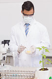 Scientist examining corn in petri dish