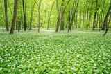 White flowers of the ramsons in the forest.
