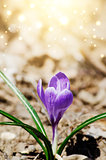 Magic Crocus
