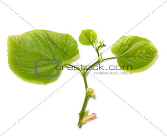 Green tilia leafs on white background.