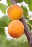 Apricots ripen on the tree