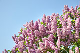 Pink flowers of lilac on the sky