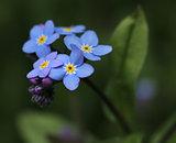 Forget-me-not flower in garden