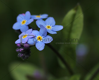 Forget-me-not flower in garden