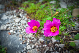 Pink flowers surrounded by stones