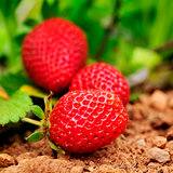 ripe strawberries in the plant