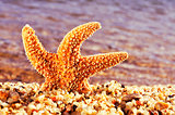 orange seastar in the seashore