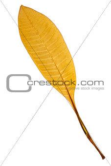 Beautiful golden leaf