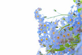 delicate flowers forget-me-not illuminated by light