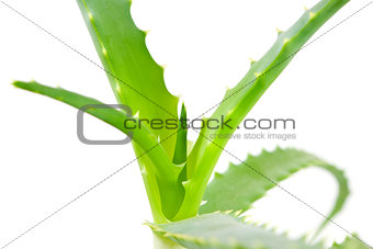 aloe plant, closeup
