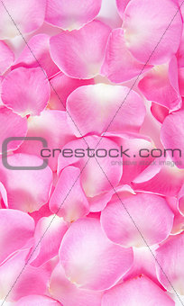 background of bright pink rose petals