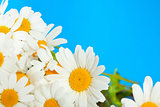 daisy flowers on a blue background