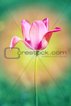 Beautiful spring flowers Tulip